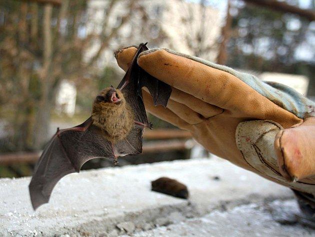 Až několik stovek podobných případů, kdy při zateplování sídlišť či budov objeví zaměstnanci stavební firma zimoviště netopýrů, eviduje ročně Česká společnost pro ochranu netopýrů. Lze tomu přitom předejít.