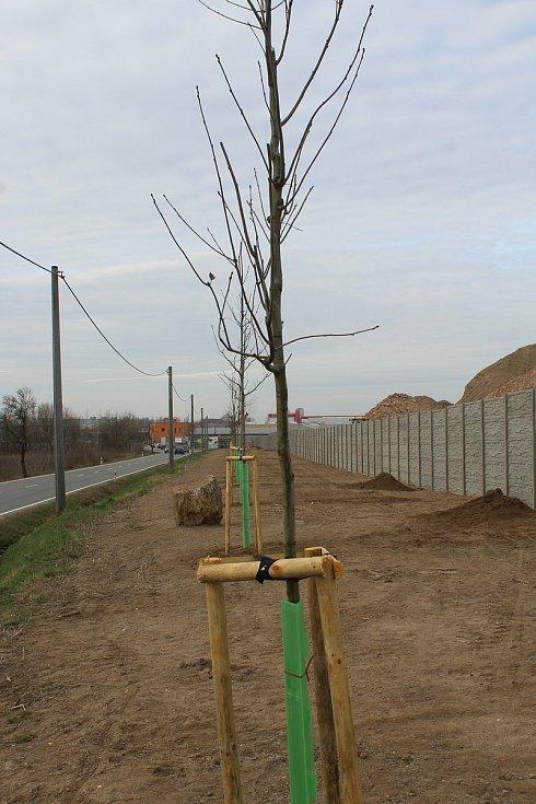Nově vysázené červené duby u silnice mezi Hodonínem a Ratíškovicemi.