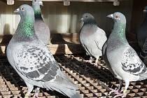 Petrovší holubáři slaví šedesát let.