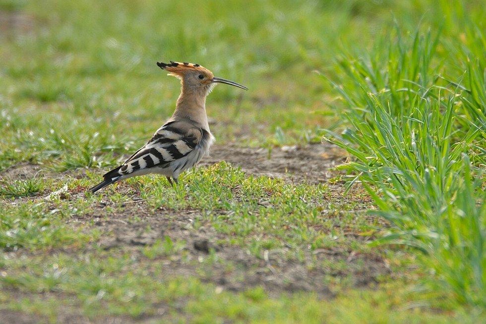 Dudek chocholatý. Ornitologové loni pozorovali na Kosteliskách jeden pár dudka chocholatého. Je pravděpodobné, že tu hnízdil.