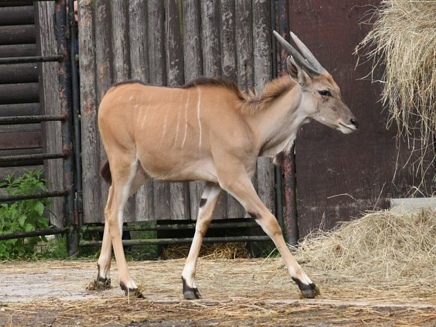 Antilopy losí, které do hodonínské zoo přišly z německého Hannoveru a Gelsenkirchenu.