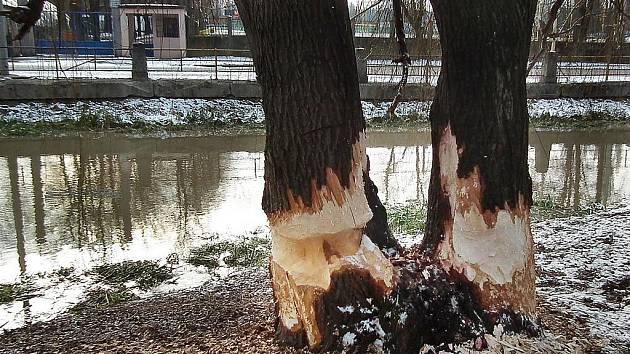 Bobry okousané mohutné stromy.