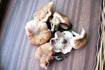 U Ratíškovic, Javorníka a Radějova se už v červnu objevily houby václavky. Obvykle rostou až na pozdim.