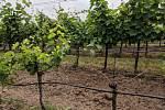 Nový strašák vinařů. Vinice ohrožuje kvůli suchu nová choroba kmene révy ESCA, škody jdou do stamilionů.