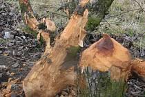 Bobři způsobují škody
