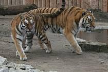 Tygr ussurijský v hodonínské zoo.