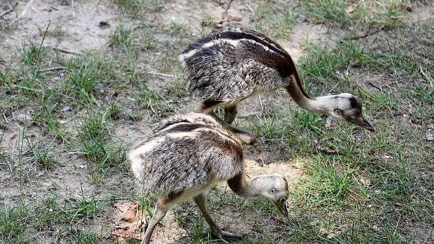 Mláďata nandua pampového ve výběhu hodonínské zoo.
