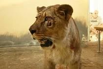 Dvouletá lvice Lily z irského Belfastu.