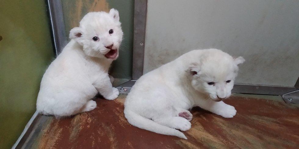 Lvíčata v Hodoníně.