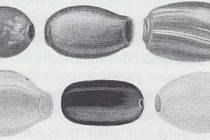 Ukázka foukaných korálů z moravského území.