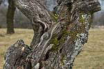 V Habrůvce pečují o starý sad. Osvěží ho morušemi, kdoulemi a oskerušemi.