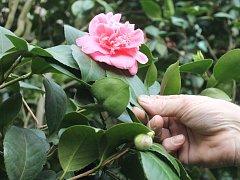 V zámeckých sklenících v Rájci-Jestřebí kvetou pestrobarevné kamélie různých odrůd.