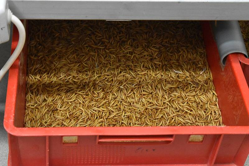 Původně začínali ve firmě WormUP s padesáti kilogramy červů měsíčně. Nyní jich v Blansku zpracují osm metráků a výrobu chtějí rozšířit na dvojnásobek.