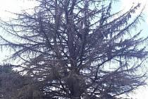 Teplé a suché počasí. Ideální podmínky pro kůrovce. Ten je při chuti i mimo lesní porosty. Velké problémy s ním mají i přímo v ulicích Boskovic, kde napadá tamní stromy. Osm poškozených smrků proto půjde brzy k zemi.