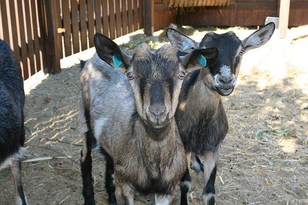 Manželé Sedlákovi, kteří provozují kozí farmu a vyrábějí produkty z kozího mléka v Šošůvce, nyní připravili před domem novou atrakci.