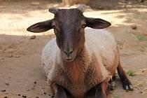 Ovce kamerunské lákají děti i dospělé.