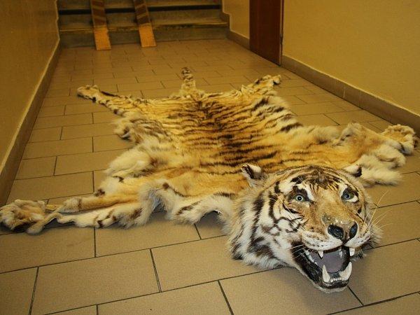 Kriminalisté prověřující informace kveřejným zakázkám našli vRájci-Jestřebí na Blanensku při domovní prohlídce tygří kůži shlavou a tři vypreparovaná zvířata.