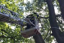 Tři jednotky hasičů zasahovaly v neděli před druhou hodinou odpoledne u cesty na Loucký dvůr na Olešnicku. Původně hasiči vyjeli jen k odřezání nalomené větve. Na místě však zjistili, že budou muset strom prořezat víc.