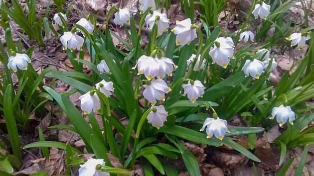 Z procházek za jarními květy.