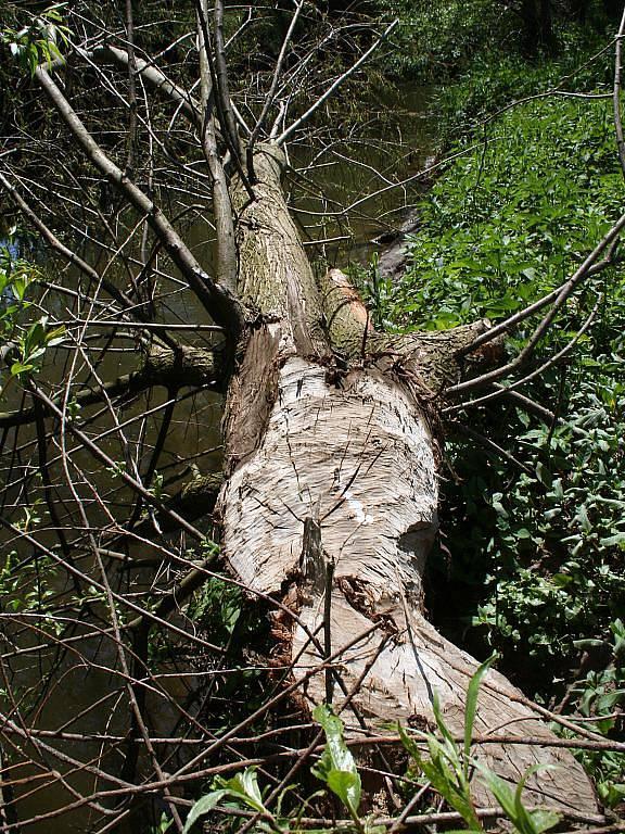 Na stopy po bobřích řezácích mohou lidé narazit na Blanensku u řeky Svitavy.