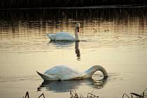Zlatá hodinka s labutěmi na Sudickém rybníku.