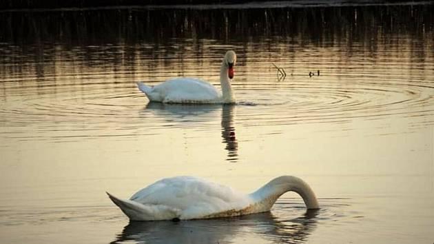 Zlatá hodinka s labutěmi na Sudickém rybníku na Blanensku na jihu Moravy.