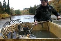 Křtinští lesníci vylovili v pátek rybník v tamním arboretu. Lidé si na hrázi mohli koupit kapry a amury.