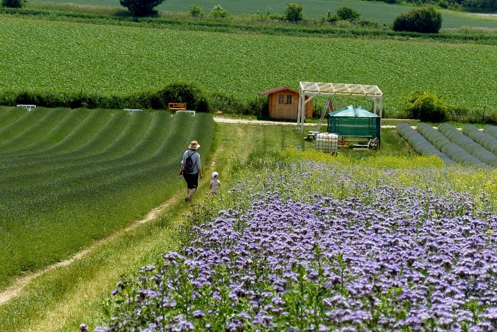 Kouzelná levandulová farma ve Starovičkách.