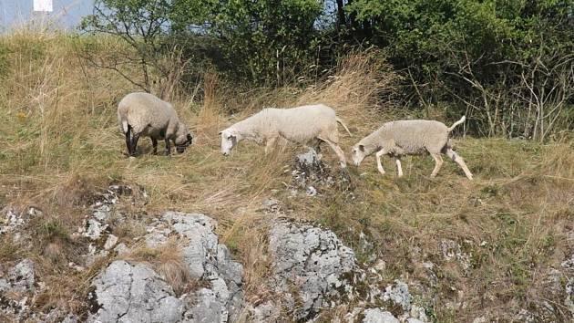 Přírodě v Rudickém propadání nyní pomáhají pasoucí se ovce a kozy.