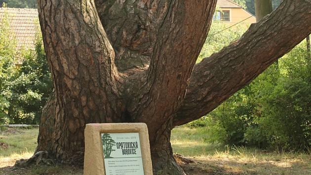 Díky nové informační tabuli, která vypadá jako pomníček, se památná borovice ve Velkých Opatovicích stala zcela nepřehlédnutelnou.
