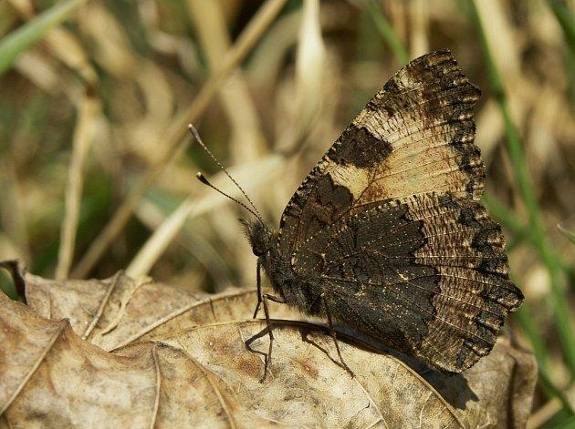 První motýli v Blansku v letošním roce.