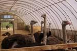 Pštrosí farma v Doubravici nad Svitavou funguje už přes dvacet let.