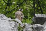Z letošních sedmi mláďat vzácného sokola stěhovavého přežila v Moravském krasu jen tři. Ostatní roztrhal výr velký.