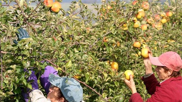 Sklizeňv v jabloňových sadech v Lysicích.