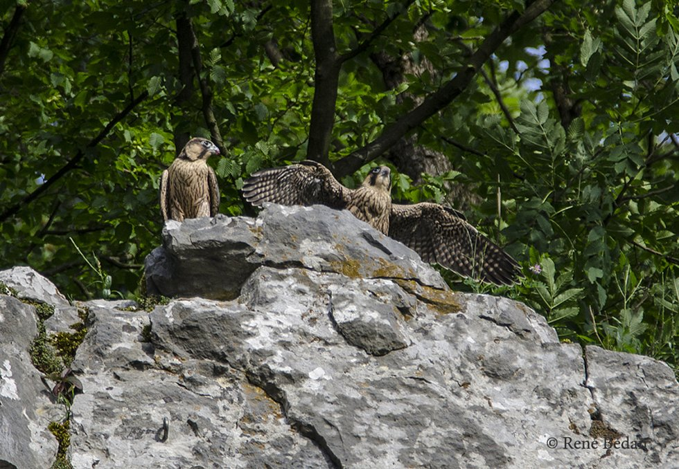 Mláďata sokolů z Býčí skály postupně opouští místa. Do oblasti se mohou vrátit turisté.