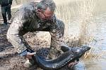 Rybáři nasazovali do rybníka v Černé Hoře na Blanensku devět přes metr dlouhých jeseterů. Tuto exotickou rybu už vysazovali loni, ve zdejších podmínkách může dorůst až do padesáti kilogramů.