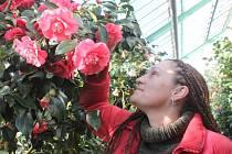 V zámeckých sklenících v Rájci-Jestřebí nyní kvetou kamélie všemožných odrůd a barev.