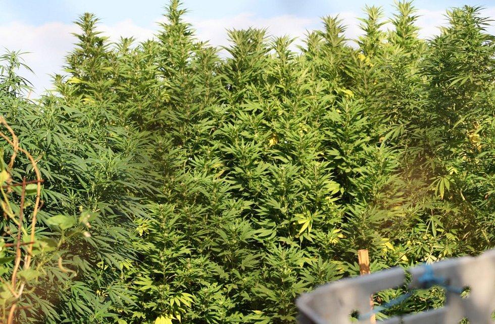 """Bratři pěstovali marihuanu. Policie jim """"sklidila"""" čtrnáct kilo."""