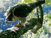 Ornitologové odhalili původ sokolí samice, která žije v Moravském krasu. Přiletěla ze sevrního Maďarska.