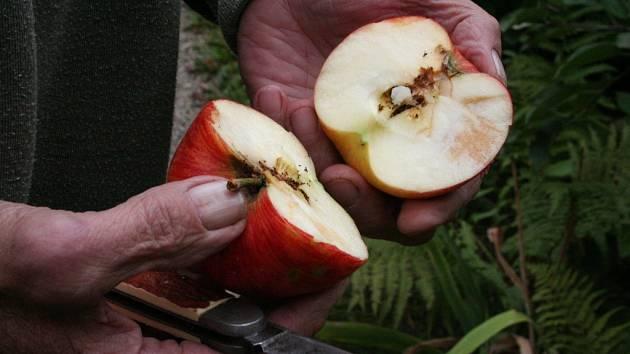 Navenek krásná jablka, uvnitř poškozená dužina. Takový pohled v těchto dnech často čeká zahrádkáře a sadaře. Jablka napadl obaleč jablečný.