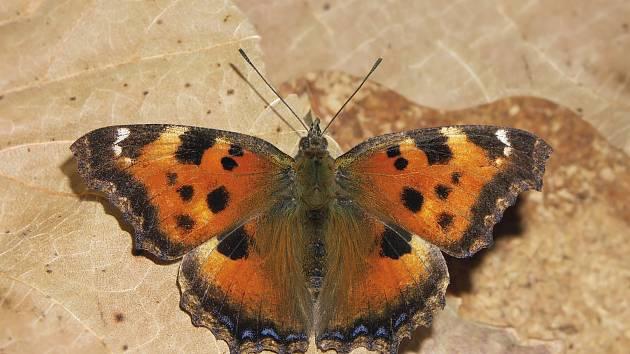 Michal Koupý v Blansku po letech vyfotografoval vzácného motýla. Babočku vrbovou.