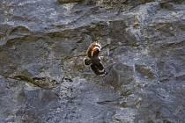 Při hlídání a pozorování hnízdících sokolů stěhovavých viděli ochránci přírody v Moravském krasu další vzácné ptáky. Na Býčí skálu například v polovině dubna přiletěl zedníček skalní. Podle všeho se v tuto dobu jednalo o jediné doložené pozorování na naše