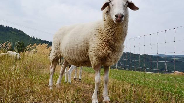 Ovce na spásání porostu v Moravském krasu dodává i zemědělec Zdeněk Slouka. Letos už se pásly v Rudickém propadání a nyní jsou u statku Samsara v Klepačově.