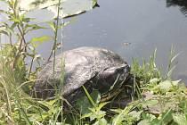 Želva nádherná u zámeckého rybníčku v blanenském parku.