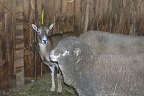 Malé mufloně je u ovcí v chlívku jako doma.