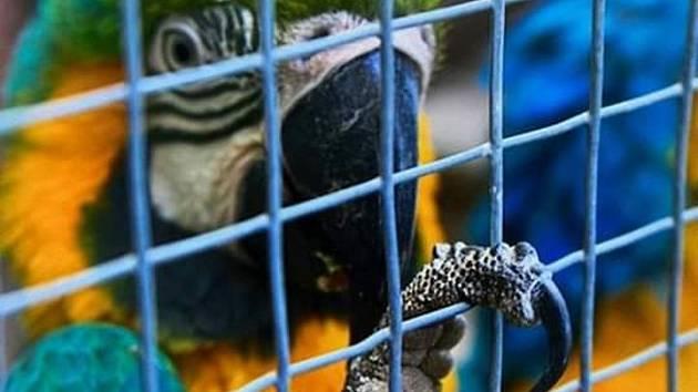 Samička papouška ara Sára je už zpátky ve své voliéře.