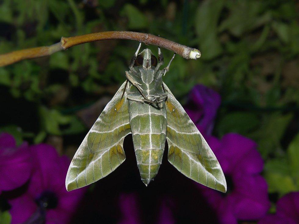 Michal Koupý z Blanska, který se věnuje studiu motýlů a jejich fotografování, má ve své sbírce unikátní snímky. Doma se mu vylíhl u nás velmi vzácný lišaj oleandrový. Jeho housenky našli lidé na na přelomu srpna a září v Blansku.