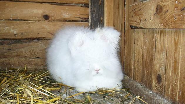 Chovatel Karel Král uspěl již na mnoha soutěžích. Jeho zatím největším úspěchem je získání titulu Šampiónka Evropy pro samici plemene králíka angora bílá.