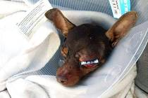 Psa měla v Blansku surově ztlouknout trojice nezletilých chlapců. Nakonec vyšlo najevo, že celý případ si vymyslela majitelčina kamarádka.