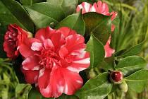 V zámecké oranžerii v Lysicích budou v neděli k vidění kvetoucí kamélie japonské.